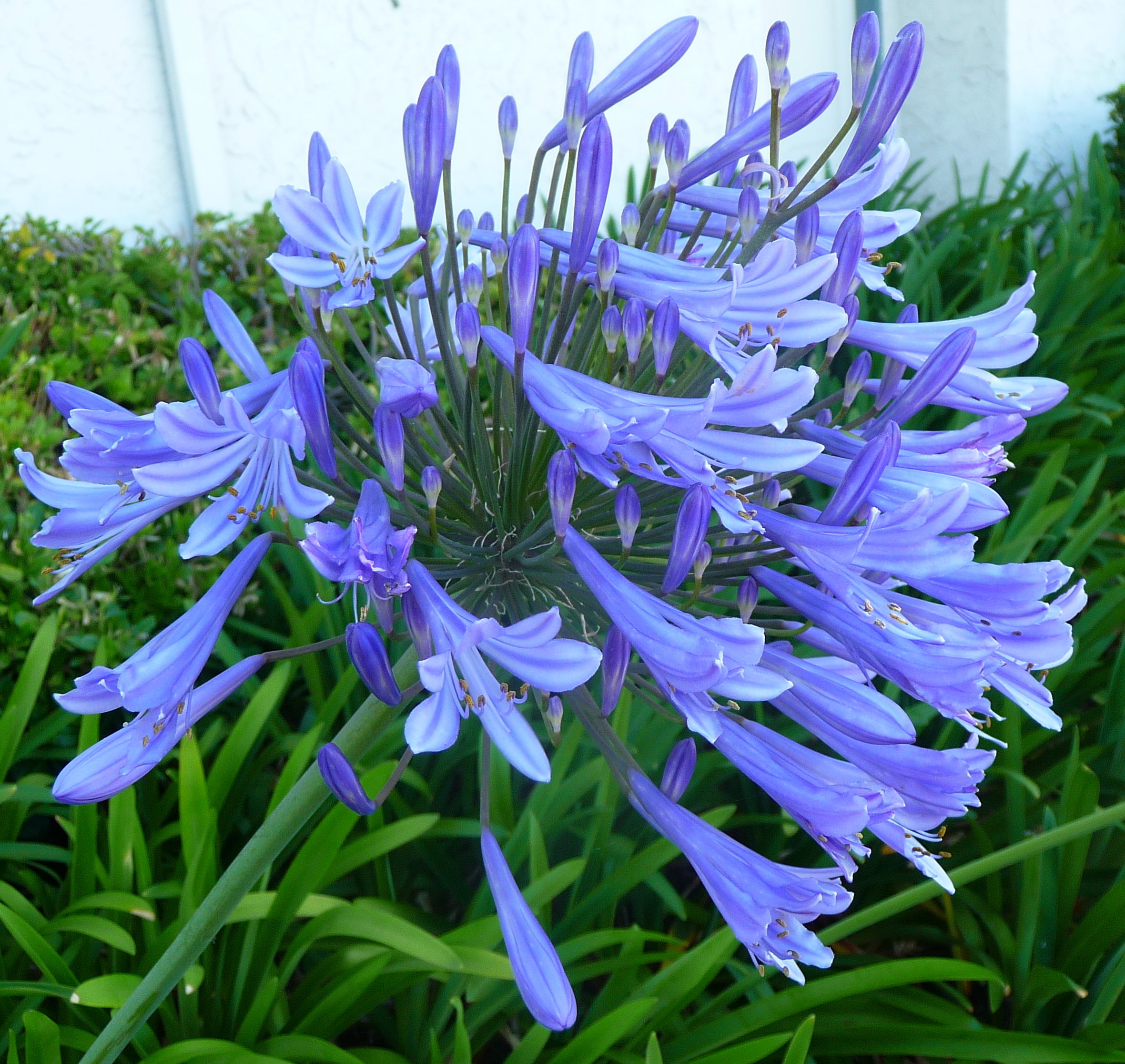 Agapanthus Blue Common Name African Lily 150mm