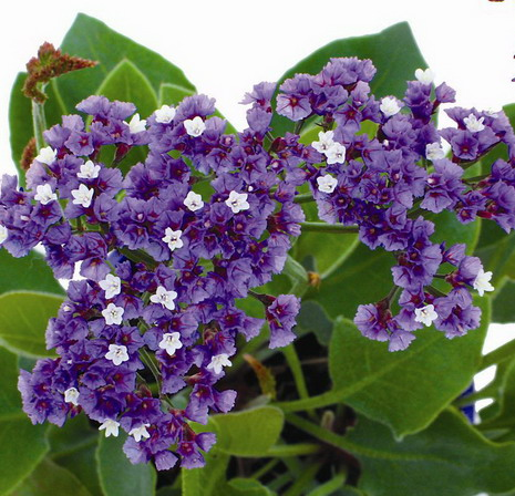 Image result for limonium perezii