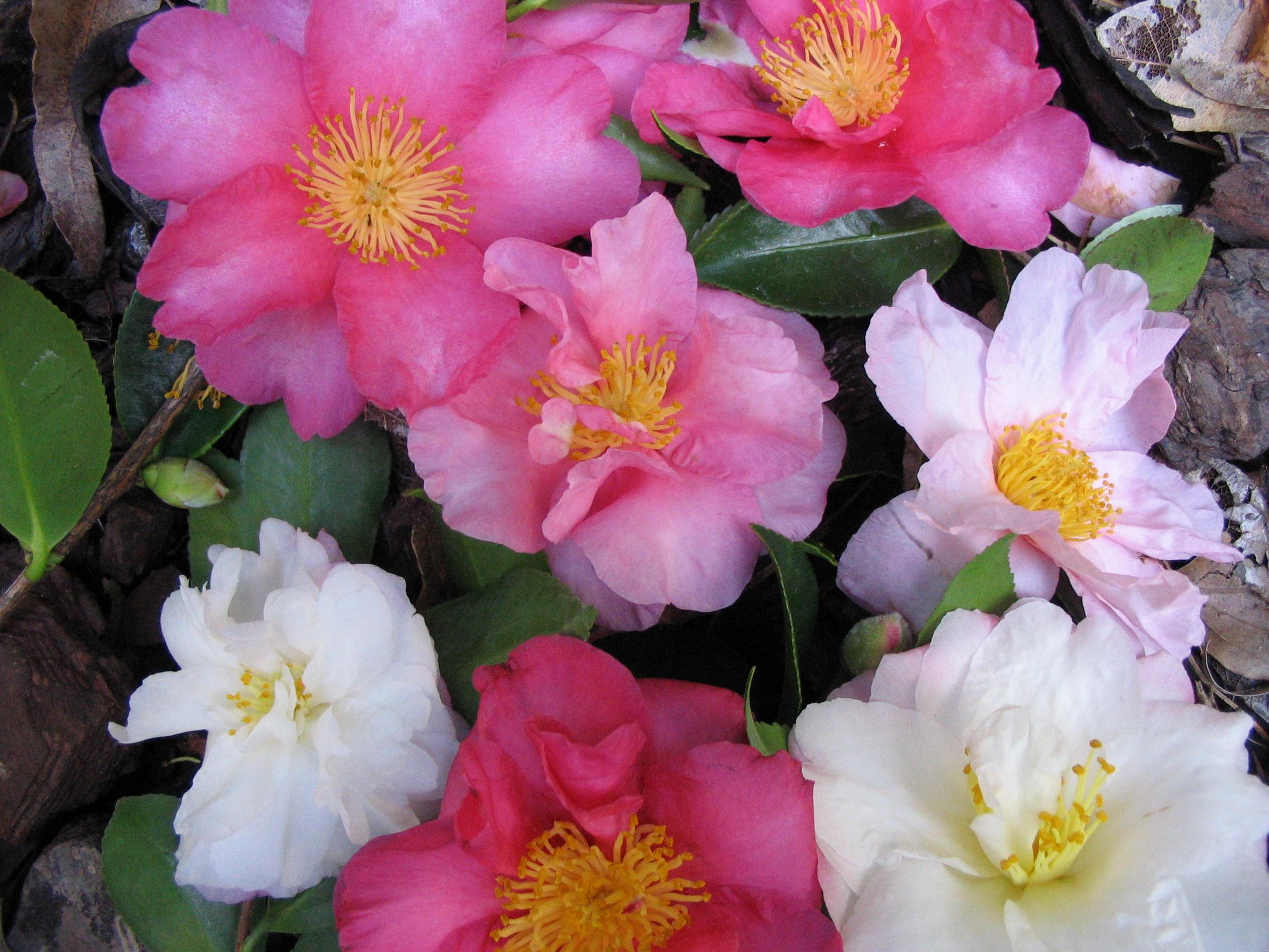 Autumn planting dawsons garden world for Camellia sasanqua