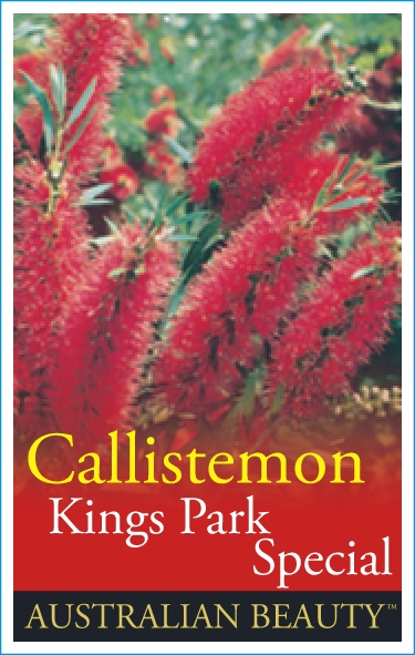 Callistemon Kings Park Special Common Name Bottlebrush