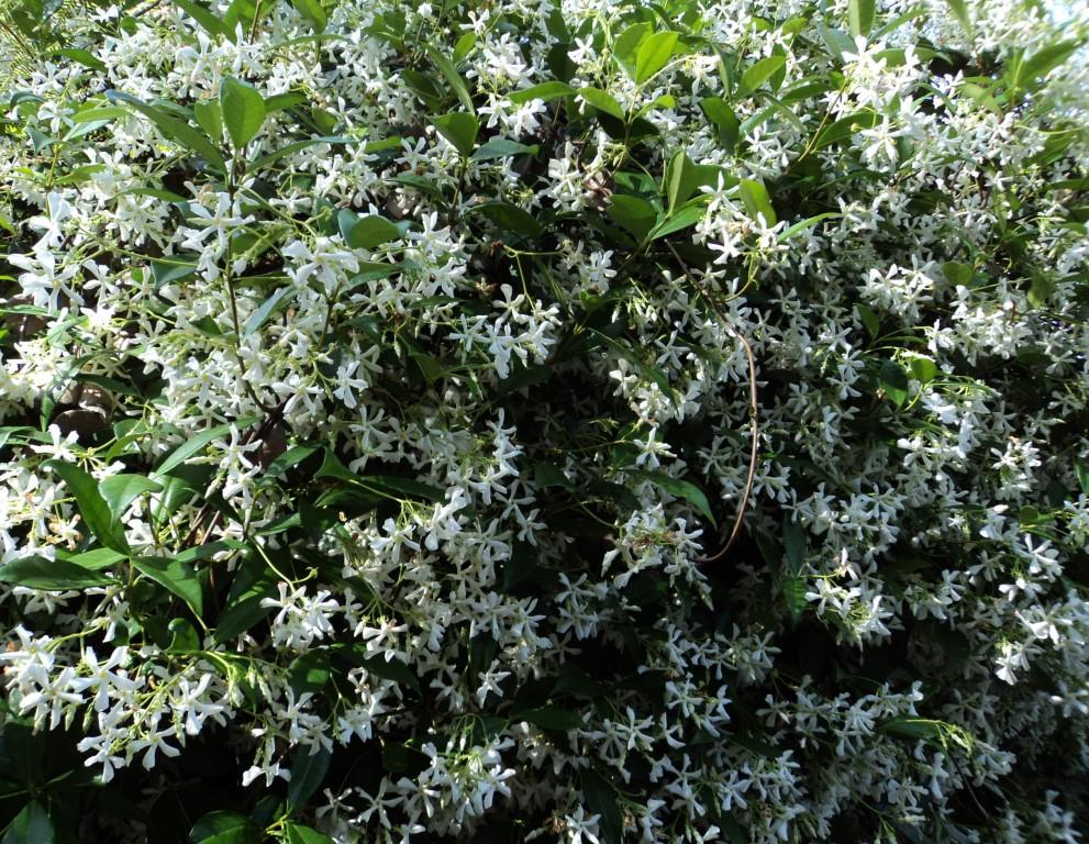 trachelospermum jasminoides 175mm pot common name chinese star jasmine dawsons garden world. Black Bedroom Furniture Sets. Home Design Ideas