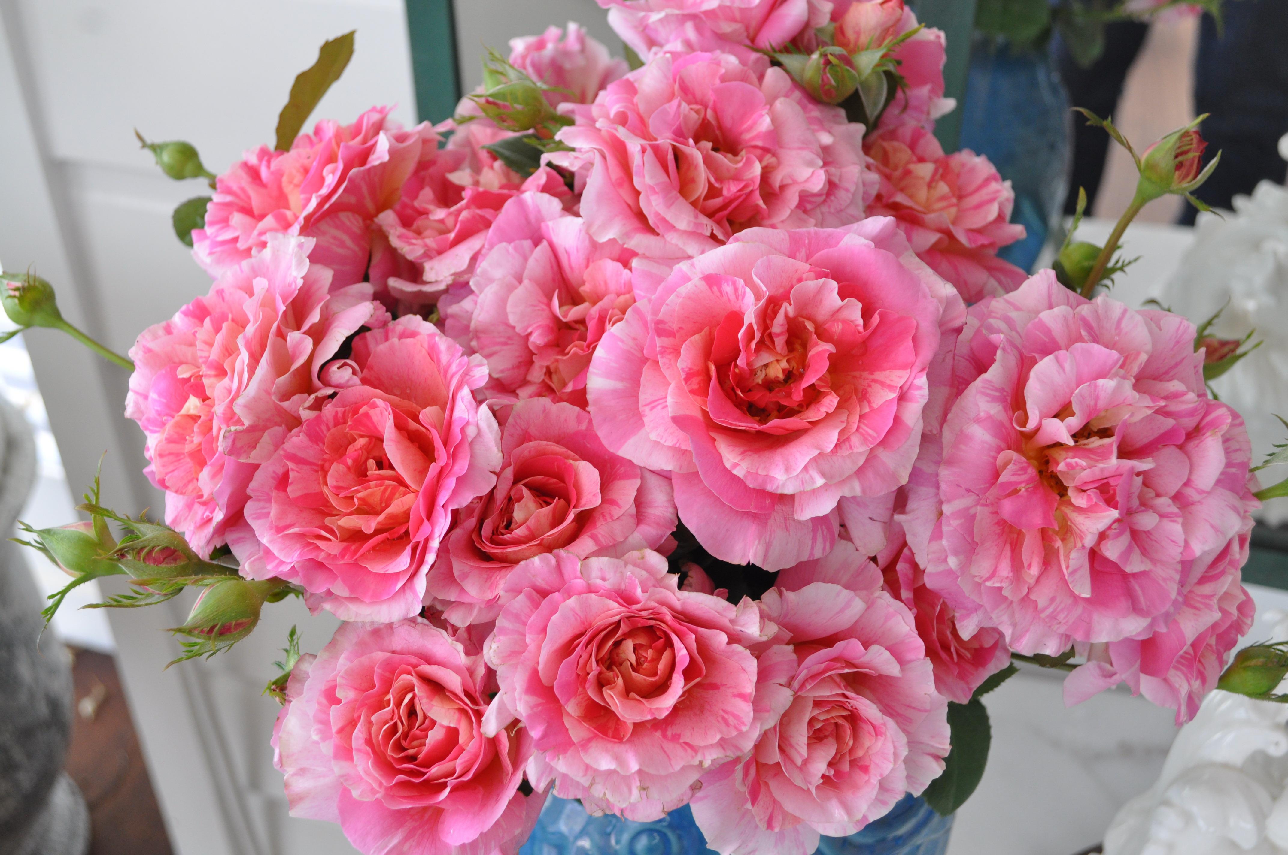 delbard french rose claude monet 175mm pot dawsons garden world. Black Bedroom Furniture Sets. Home Design Ideas