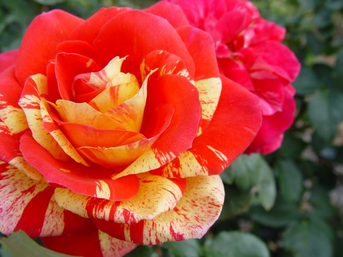 Love Garden Roses: Hedging Rose (Floribunda) Love In 175mm Pot