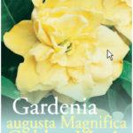 Gardenia_0020_golden_0020_magic