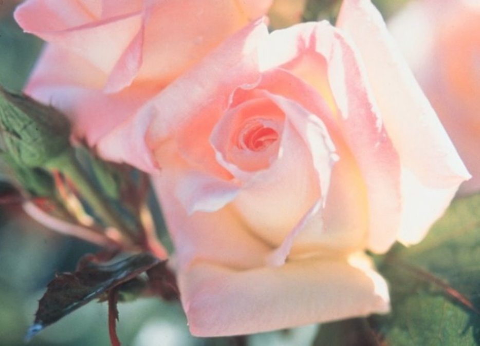Long Stemmed Rose Hybrid Tea Diana Princess Of Wales
