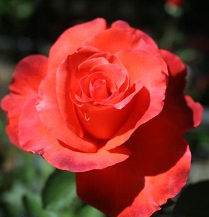 Long Stemmed Rose Hybrid Tea Lady Rose 175mm Pot