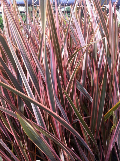 phormium rainbow queen common name tricolour flax 200mm dawsons garden world. Black Bedroom Furniture Sets. Home Design Ideas