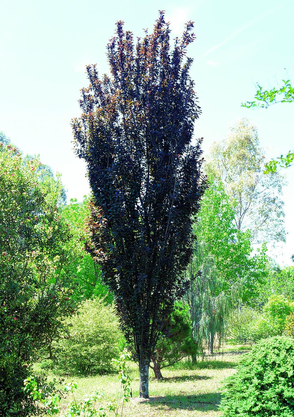 Prunus Oakville Crimson Spire Common Name Ornamental