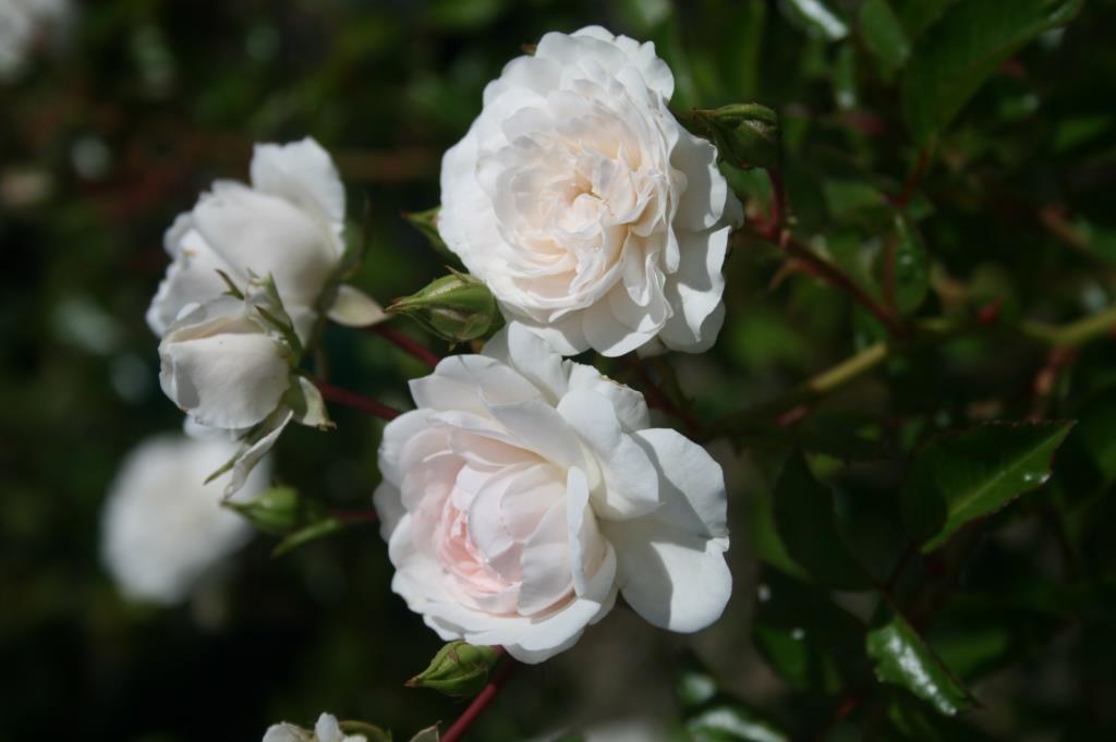 weeping rose seafoam 250mm pot dawsons garden world. Black Bedroom Furniture Sets. Home Design Ideas