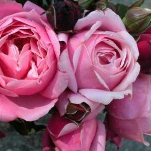Delbard French rose Soeur Emanuelle 175mm Pot | Dawsons ...