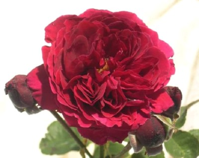 Standard Rose Fathers Love Height Medium 250mm Pot
