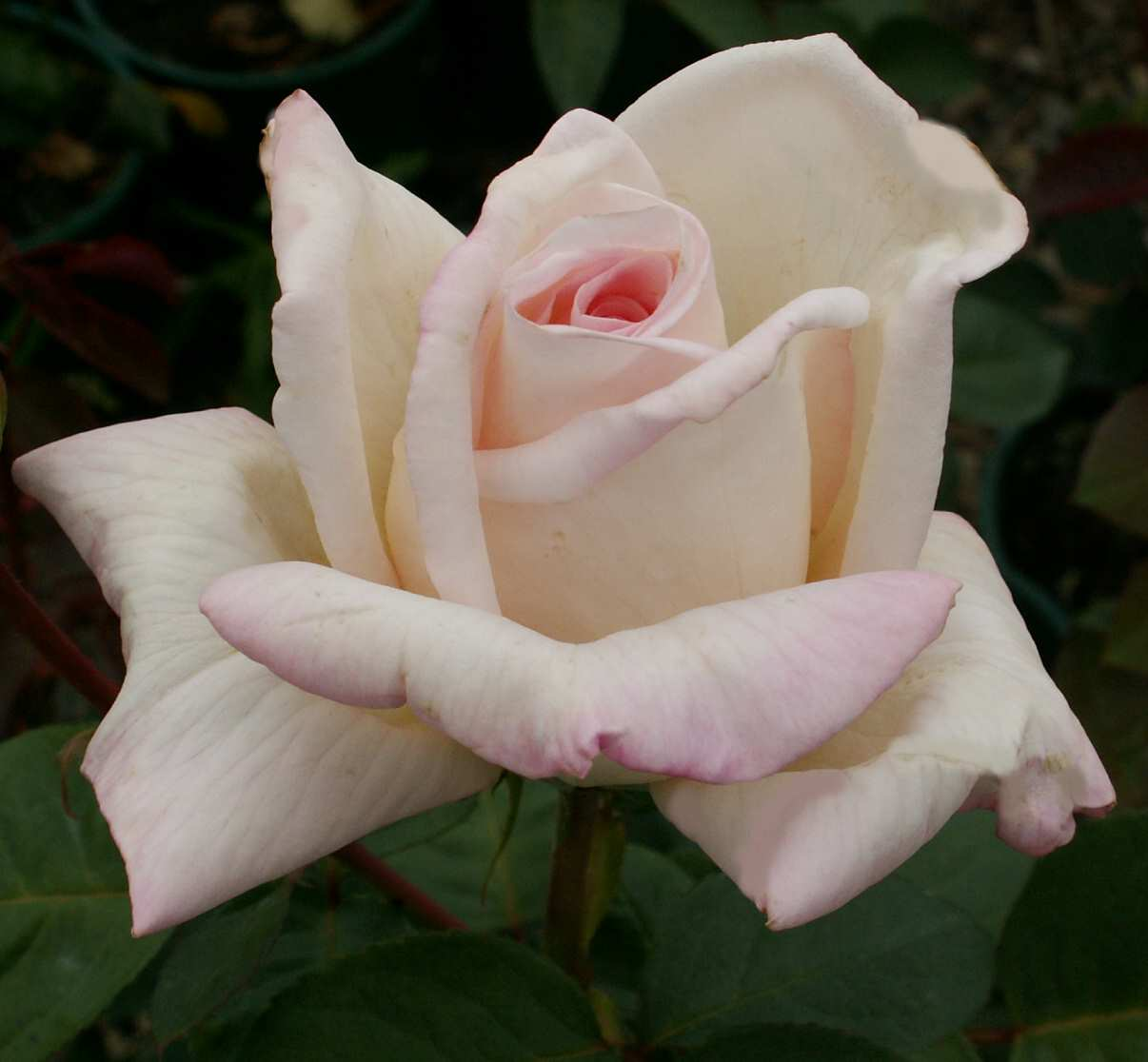Long stemmed rose hybrid tea jardins de bagatelle 175mm for Bagatelle jardin