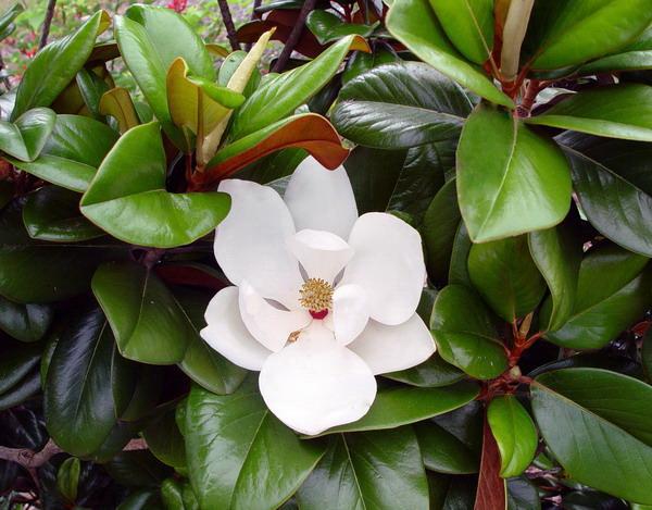 Magnolia Teddy Bear 200mm Pot Dawsons Garden World
