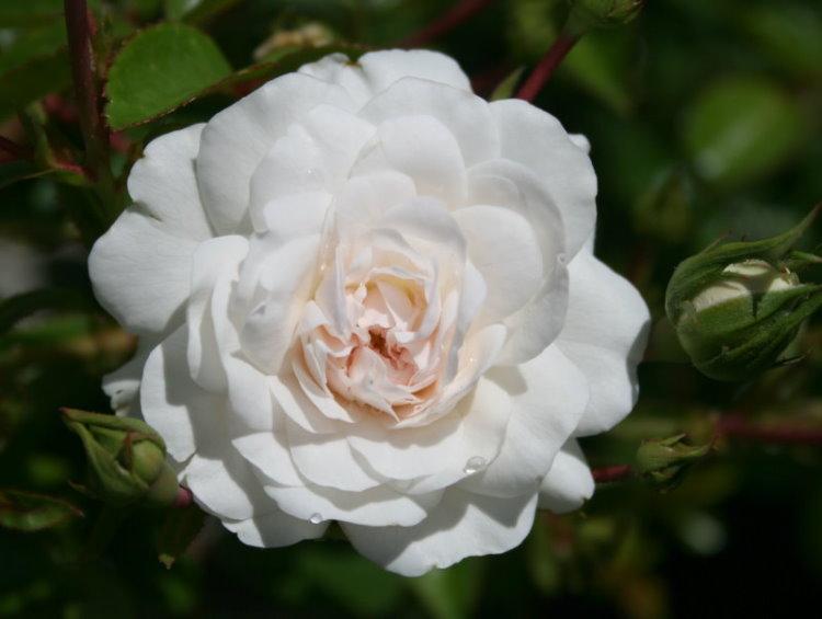 rambling shrub rose sea foam 175mm pot dawsons garden world. Black Bedroom Furniture Sets. Home Design Ideas