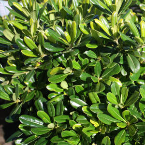 Pittosporum Miss Muffet 150mm Pot Dawsons Garden World