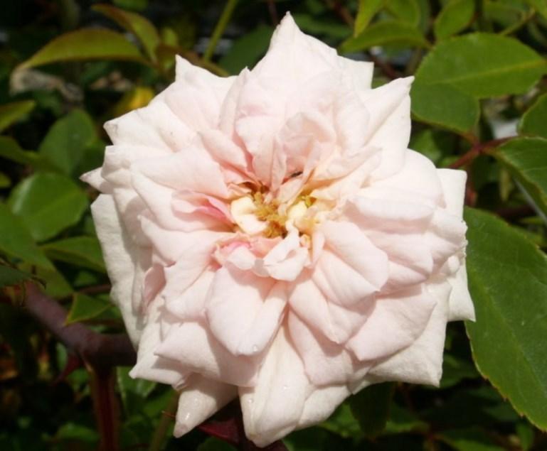 Cecile Brunner Rose History Climbing Rose Cecile Brunner