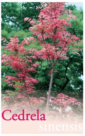 Cedrela Sinensis Common Name Chinese Cedar 200mm Pot