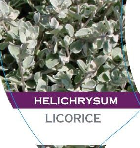 Dawsons Garden World Products Helichrysum Petiolare Licorice 150mm Pot