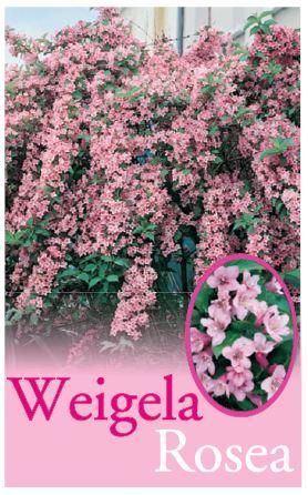 Weigela Florida Rosea Common Name Pink Weigela 175mm