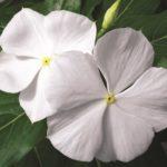 Vinca Pure White