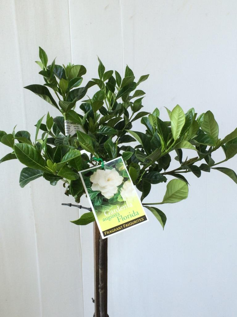 Standard Gardenia Augusta Florida Common Name Fragrant