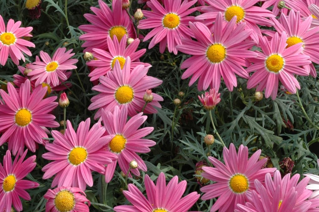 Argyranthemum Sublime Pink Common Name Federation Daisy