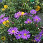 Brachycome brasco violet
