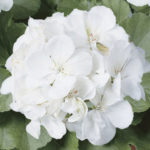 Geranium Rocky clasic white