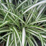 chlorophytum comosum picturatum