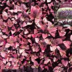 Little Ruby™ Alternanthera dentata 'LRU30' PBR 175 mm Pot