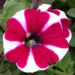 Petunia-Hot-Lips