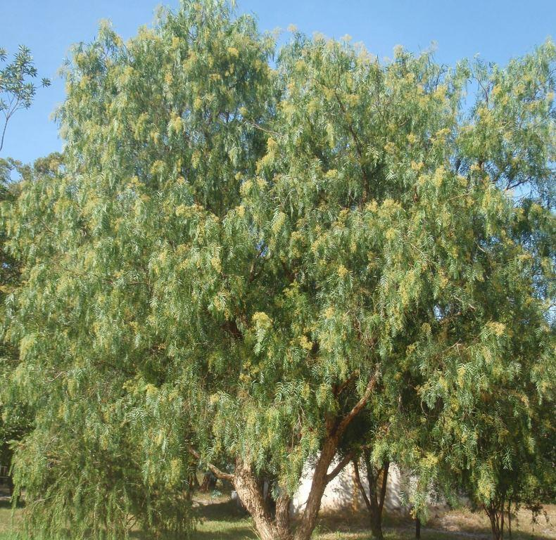 schinus molle common name � pepper tree175mm pot