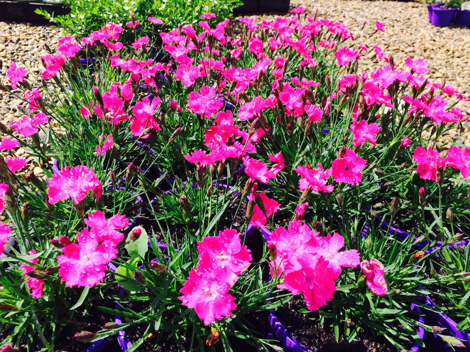 Dianthus Kahori (Common Name Border Pinks) 125mm Pot | Dawsons Garden ...