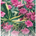 Nerium Splendens Variegata