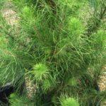 Pinus Radiata Christmas Star 1