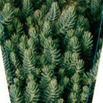 Sedum Blue Feather