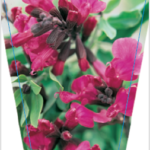 Salvia Pink Raspberry Royal