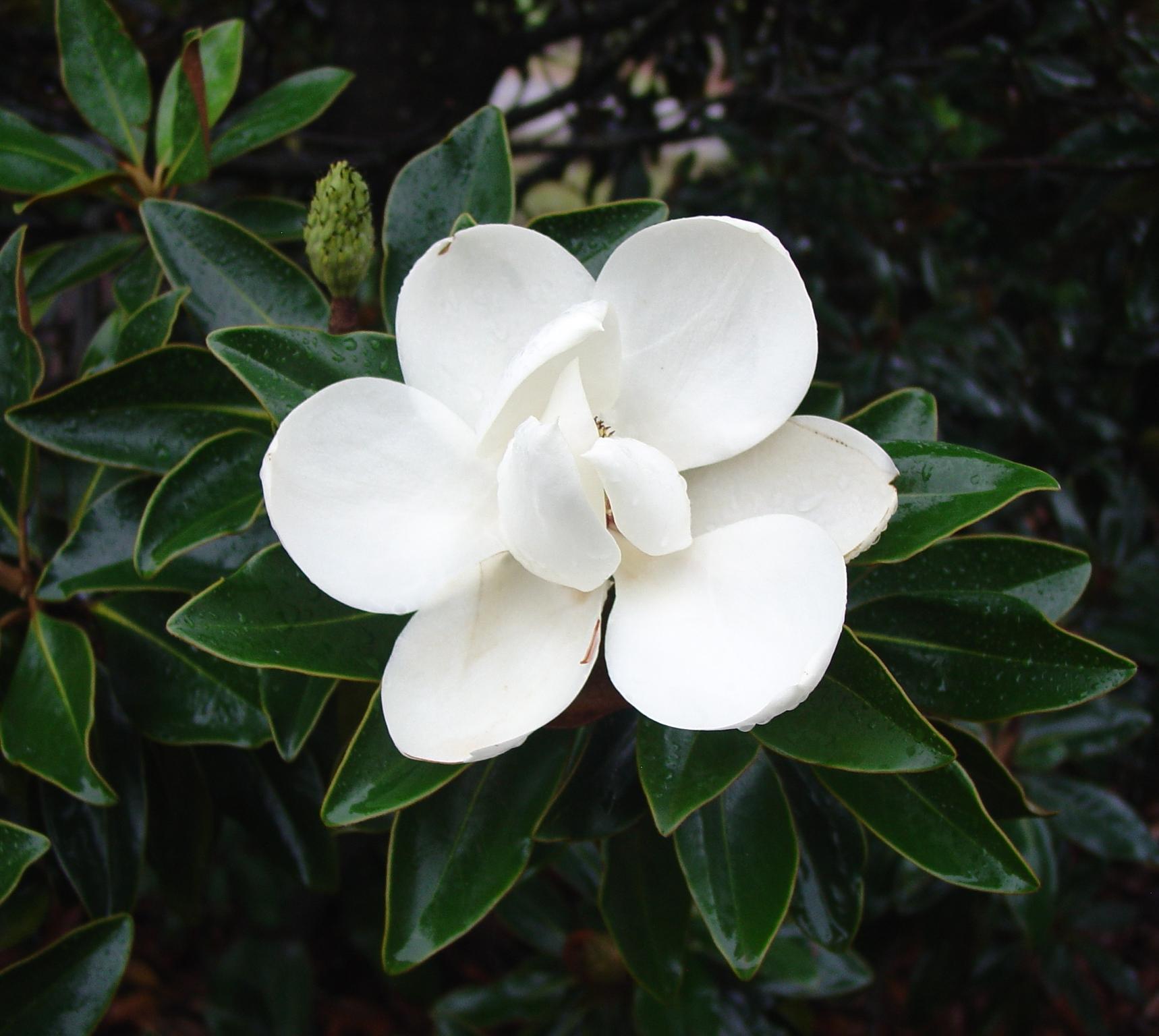 Color Magnolia
