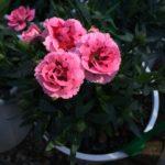 Carnation Oscar Pink & Purple