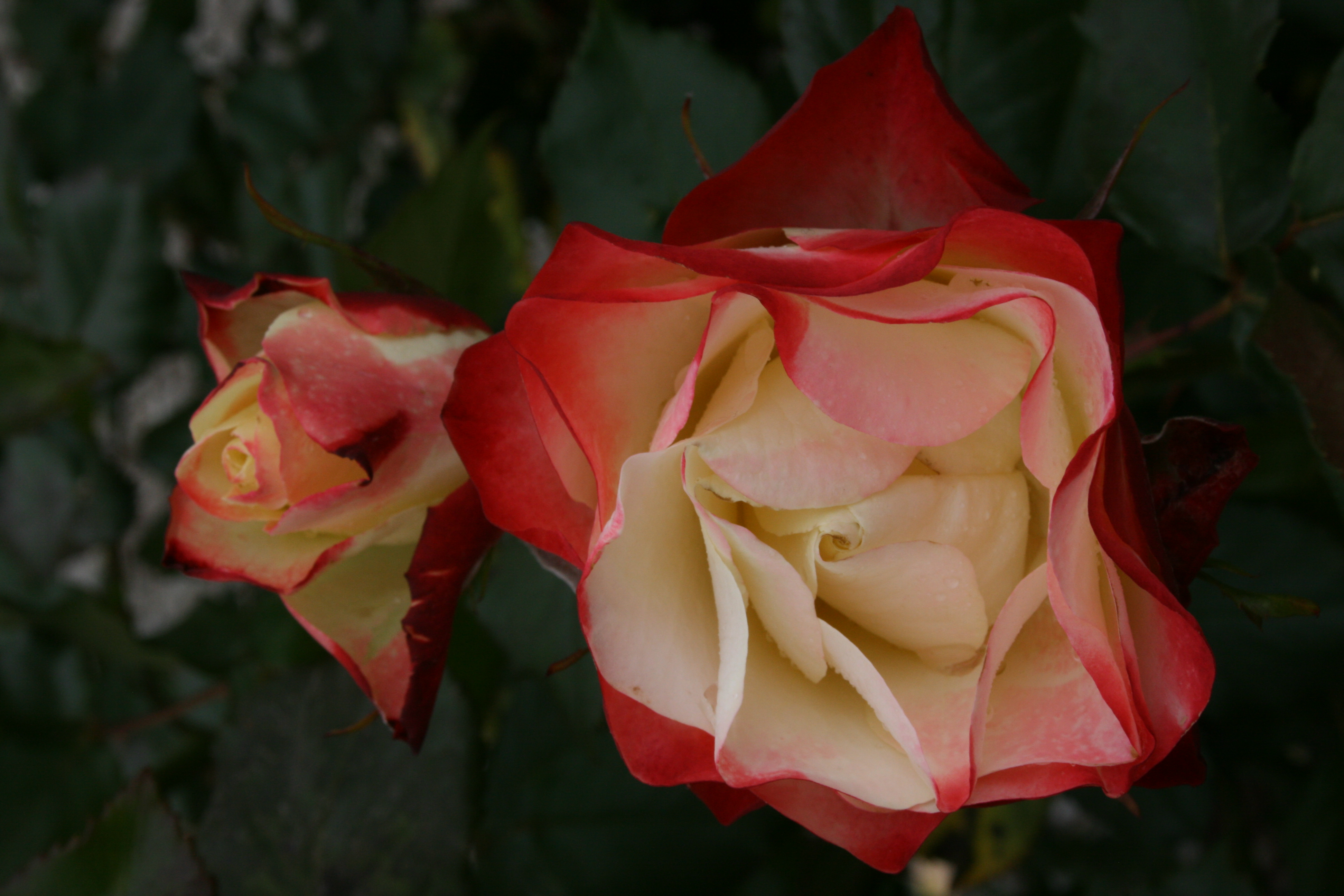 Hedging Rose Floribunda Origami 175mm Pot Dawsons