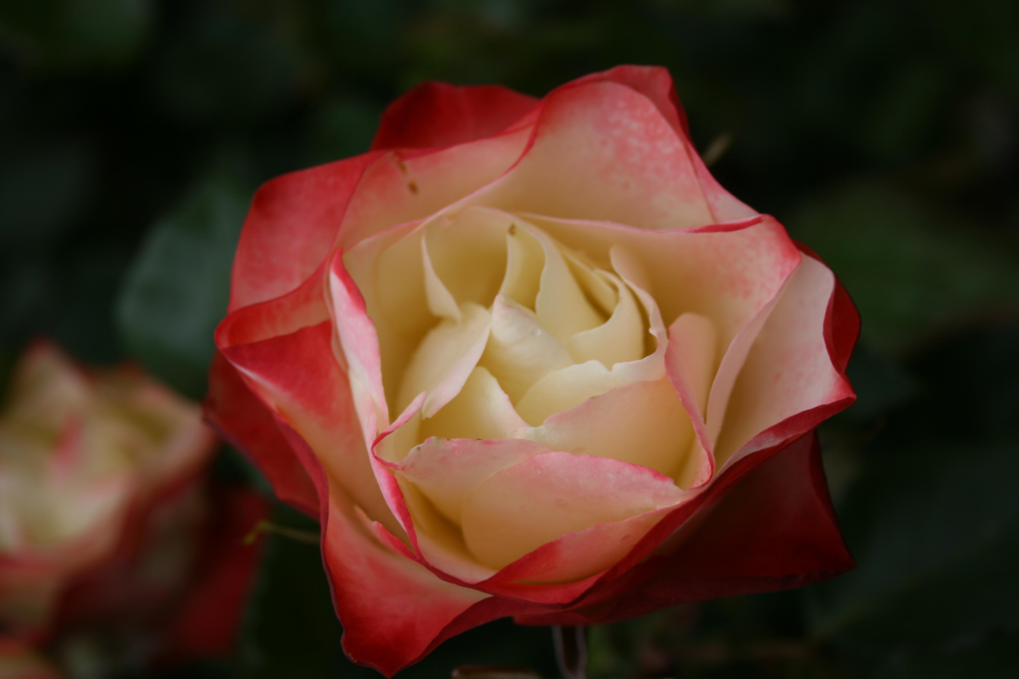 Hedging Rose Floribunda Origami 175mm Pot Dawsons