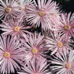 Mesembryanthemum Pink
