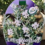 Westringia Little Westie