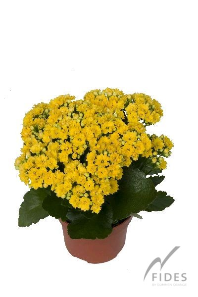 Calandiva Brazil Yellow Common Name Double Kalanchoe