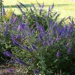 Buddleia Blue Chip Junior 175mm Pot