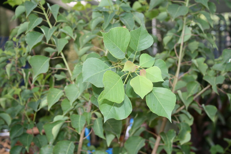Common name chinese tallow tree 400mm pot dawsons garden world