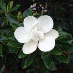 Magnolia-LittleGem